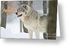 Timber Wolf Pictures 1302 Greeting Card