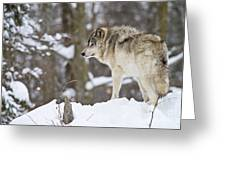 Timber Wolf Pictures 1306 Greeting Card