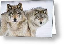 Timber Wolf Pictures 1312 Greeting Card