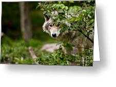Timber Wolf Pictures 1328 Greeting Card