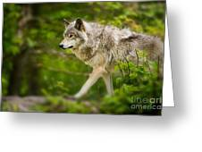 Timber Wolf Pictures 1329 Greeting Card