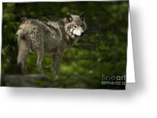 Timber Wolf Pictures 1336 Greeting Card