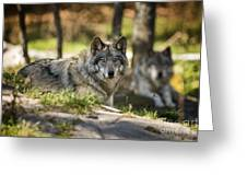 Timber Wolf Pictures 1363 Greeting Card