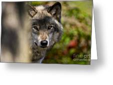 Timber Wolf Pictures 1365 Greeting Card
