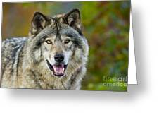 Timber Wolf Pictures 1388 Greeting Card