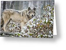 Timber Wolf Pictures 1397 Greeting Card