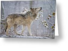 Timber Wolf Pictures 1401 Greeting Card