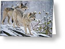 Timber Wolf Pictures 1417 Greeting Card