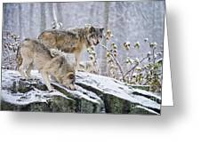 Timber Wolf Pictures 1420 Greeting Card