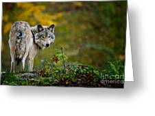 Timber Wolf Pictures 1627 Greeting Card