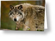 Timber Wolf Pictures 1629 Greeting Card