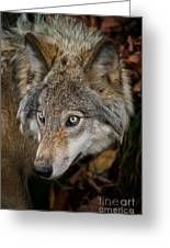Timber Wolf Pictures 1660 Greeting Card