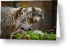 Timber Wolf Pictures 1693 Greeting Card