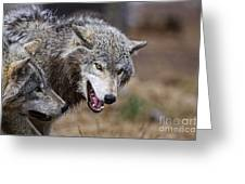 Timber Wolf Pictures 173 Greeting Card
