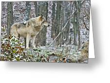 Timber Wolf Pictures 185 Greeting Card