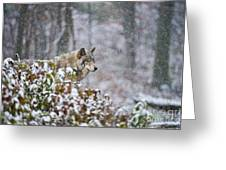 Timber Wolf Pictures 186 Greeting Card