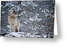 Timber Wolf Pictures 189 Greeting Card