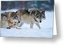 Timber Wolf Pictures 190 Greeting Card