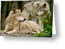 Timber Wolf Pictures 192 Greeting Card