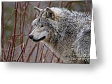 Timber Wolf Pictures 197 Greeting Card
