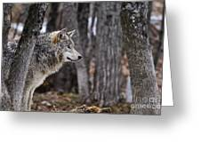 Timber Wolf Pictures 203 Greeting Card