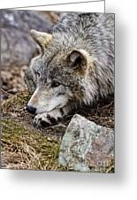Timber Wolf Pictures 205 Greeting Card
