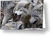 Timber Wolf Pictures 210 Greeting Card