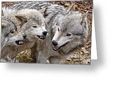 Timber Wolf Pictures 213 Greeting Card