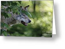 Timber Wolf Pictures 259 Greeting Card