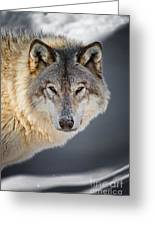 Timber Wolf Pictures 260 Greeting Card