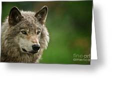 Timber Wolf Pictures 261 Greeting Card