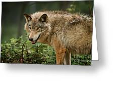 Timber Wolf Pictures 262 Greeting Card