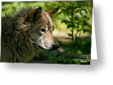 Timber Wolf Pictures 263 Greeting Card