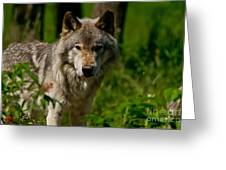 Timber Wolf Pictures 266 Greeting Card
