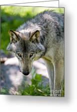 Timber Wolf Pictures 294 Greeting Card