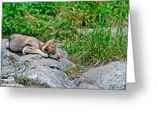 Timber Wolf Pictures 329 Greeting Card