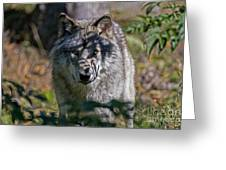 Timber Wolf Pictures 405 Greeting Card