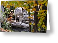 Timber Wolf Pictures 444 Greeting Card