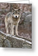 Timber Wolf Pictures 495 Greeting Card