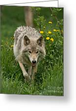 Timber Wolf Pictures 59 Greeting Card