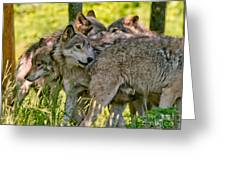 Timber Wolf Pictures 61 Greeting Card