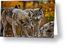 Timber Wolf Pictures 62 Greeting Card