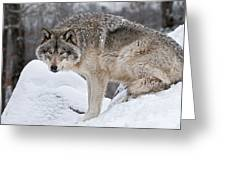 Timber Wolf Pictures 683 Greeting Card