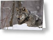 Timber Wolf Pictures 74 Greeting Card