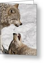 Timber Wolf Pictures 775 Greeting Card