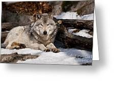 Timber Wolf Pictures 776 Greeting Card