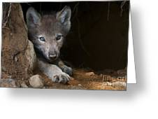 Timber Wolf Pictures 875 Greeting Card