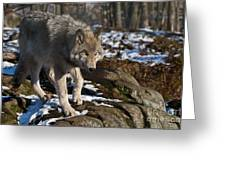 Timber Wolf Pictures 969 Greeting Card