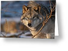 Timber Wolf Pictures 981 Greeting Card