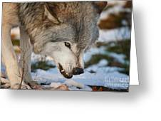 Timber Wolf Pictures 985 Greeting Card